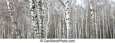 troncs, arbres, bouleau