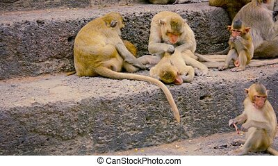 Video 1080p - Troop of Crab Eating macaques, sitting on stone steps, grooming and eating as they rest in Phra Prang Sam Yod, Thailand.