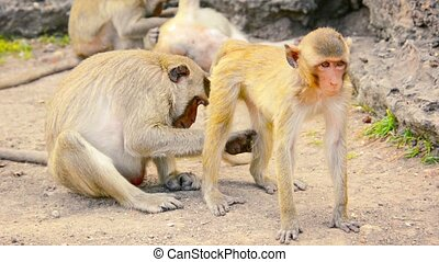 Video 1080p - Mother Long tailed Macaque, grooming her baby as he lies patiently in the sand in Phra Prang Sam Yod, Thailand.