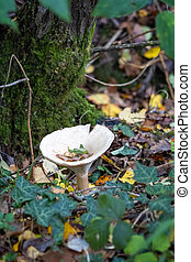 Trooping Funnel (Clitocybe geotropa) long stemmed mushroom