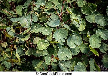 Tropaeolum tuberosum mashua foliage plant - Tropaeolum ...