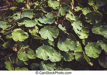 Tropaeolum tuberosum mashua foliage plant