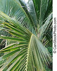 tropen, kokosnuss, blätter, bäume