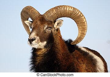 trophée,  mouflon
