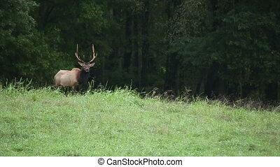 Trophy Elk - large trophy elk walking in pasture