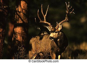 Trophy Mule Deer Buck - a trophy mule deer buck standing in ...