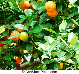 tropic fruit - foliage and fruit citrus mitis calamondin...