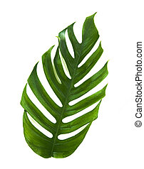 Tropic monstera palm jungle leaf isolated on white...