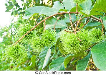 tropicais, árvore,  Rambutan, fruta, jovem