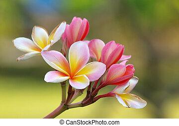 tropicais, frangipani, flores, (plumeria), ramo