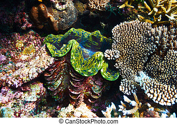 tropical, almeja gigante, barrera coralina