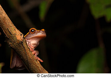 Tropical Amazon rain forest tree frog