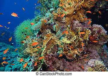 Tropical Anthias fish with corals on Red Sea reef underwater