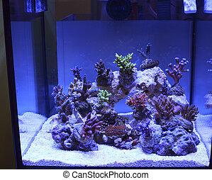tropical, arrecife, coral