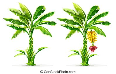 Tropical banana palm trees with fruits and leaves. Vector.
