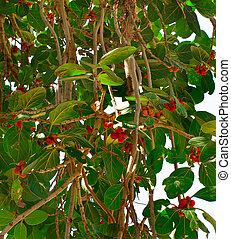 tropical banyan tree (ficus benghalensis)
