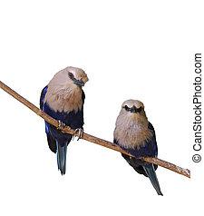 Tropical Birds - Blue Bellied Roller Birds On White...