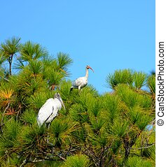 Tropical Birds - Wood Stork and Ibis bird in the wild on top...