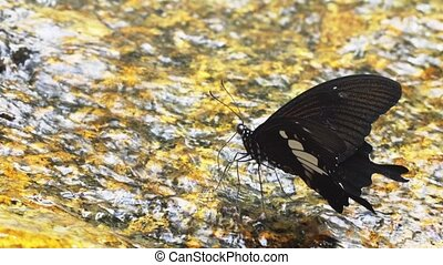 Tropical Black Butterfly Drinking Water, with Sound. 1080p...