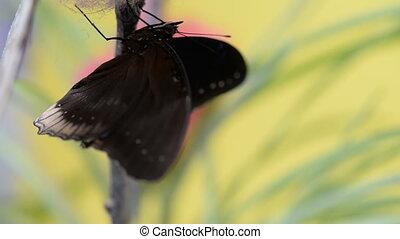 Tropical black butterfly flaps wings. Macro closeup