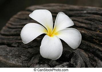 tropical blomster, frangipani, på, træ