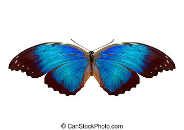 tropical blue butterfly. isolated on white background