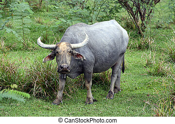 Tropical buffalo Is surprised and looking on me