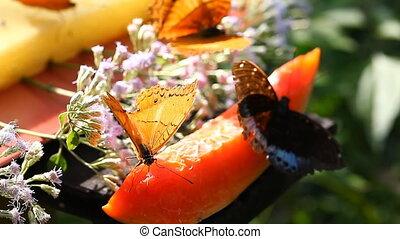 Tropical butterflies feed on fruity nectar Full hd