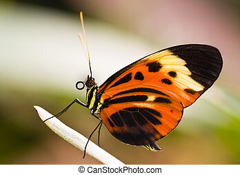 Tropical butterfly Heliconius Numata Aurora - Heliconius ...