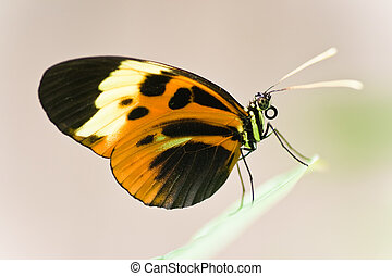 Tropical Butterfly - Heliconius Numata Aurora lives in South...