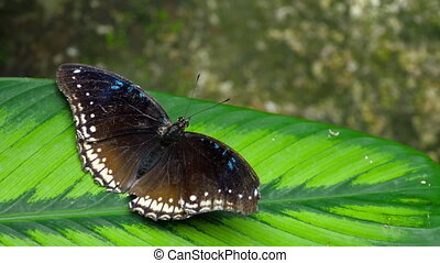Tropical butterfly Hypolimnas misippus - Danaid Eggfly...