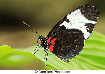 Tropical butterfly on leaf - Tropical butterfly (Heliconius ...