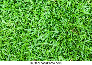 carpet grass. tropical carpet grass background