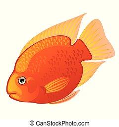 Tropical cartoon fish orange Midas cichlid or Amphilophus citrinellus isolated on white background. Vector illustration.