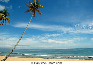 tropical coconut tree