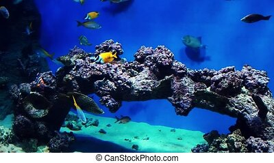Tropical colorful fish swim underwater near a coral reef in an aquarium