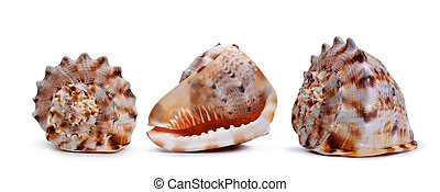 Tropical conch shells.