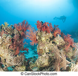 tropical, coral, buzo, arrecife