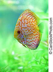 tropical discus fish in the aquarium