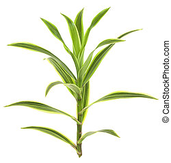 Tropical Dracaena Plant Isolated on White - Tropical...
