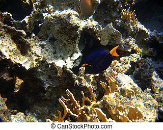Tropical exotic fish in the Red sea. Zebrasoma xanthurum