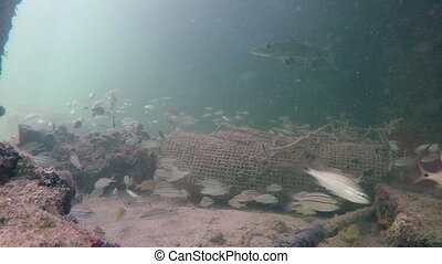 Tropical fish and barracuda underwater Florida Keys -...