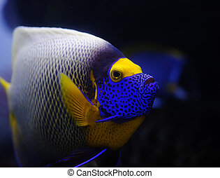 Tropical fish - Angelfish in a Moscow Zoo aquarium