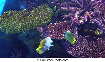 Tropical fish, angelfish in the aquarium at the colorful corals background, close-up