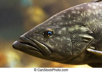 Tropical fish bass perch in water, recorded in aquarium....