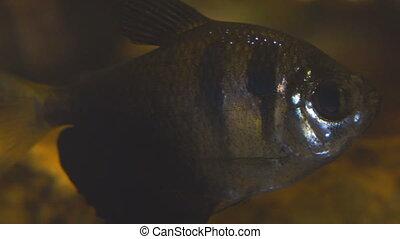 Tropical fish Black Skirt Tetra in the aquarium....