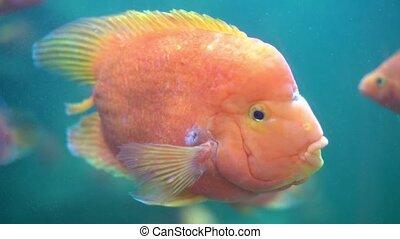 Tropical Fish in Aquarium. Close view of tropical fish in aquarium.