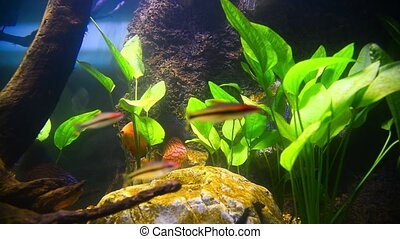 tropical fish in aquarium undervater