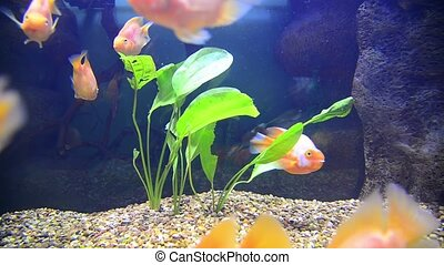 tropical fish in aquarium undervater