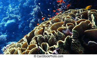 tropical fish in Red Sea Egypt